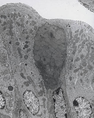 Tem Of Goblet And Secretory Cells In Duodenum Poster by Steve Gschmeissner