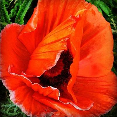 The Beautiful Icelandic Poppy Poster by Christopher Campbell