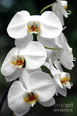 The Beauty Of Orchids  Poster
