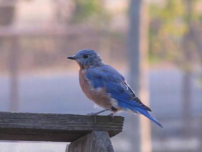 The Bluebirds Dream Poster