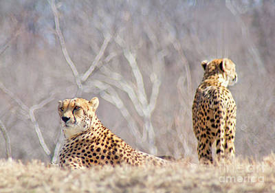 The Cheetahs Rest Poster by Carolyn Fox