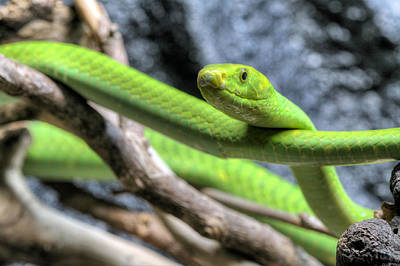 The Eastern Green Mamba Poster by JC Findley