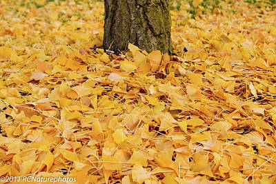 Poster featuring the photograph The Fall Of Ginkgo by Rachel Cohen