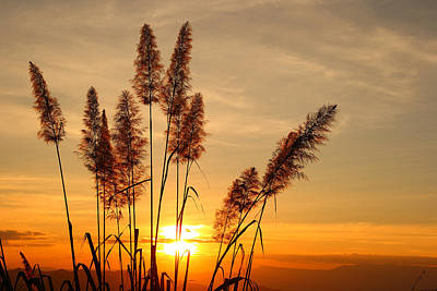 The Flowers Of Grass  On Sunset Poster