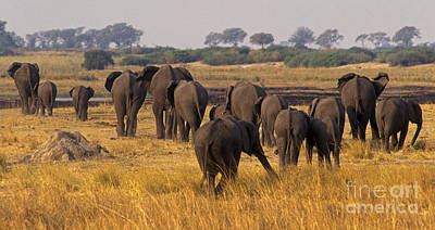 Poster featuring the photograph The Herd - Chobe Np Botswana by Craig Lovell