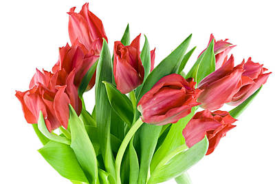 Poster featuring the photograph The Isolated First Spring Tulips Background by Aleksandr Volkov