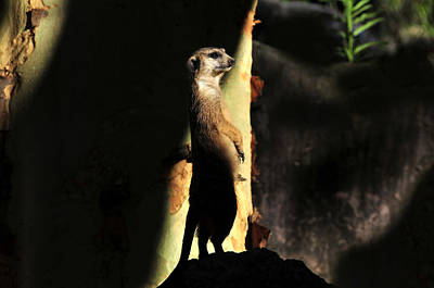 The Meerkats Perch Poster by David Lee Thompson