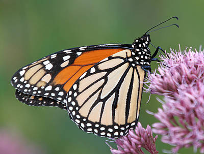 The Monarch Sipping Nectar Poster