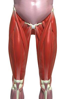 The Muscles Of The Lower Limb Poster by MedicalRF.com
