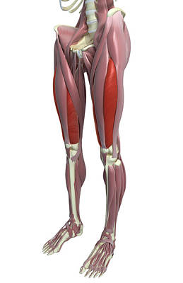 The Muscles Of The Thigh Poster by MedicalRF.com