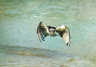 The Osprey Glare Poster by Deborah Benoit