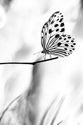 The Paper Kite Butterfly In Black And White Poster by Zoe Ferrie
