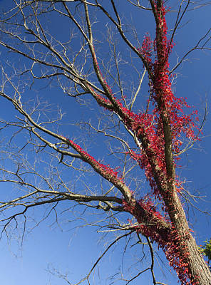 Poster featuring the photograph The Red Tree by Nick Mares