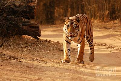 Poster featuring the photograph The Royal Bengal Tiger by Fotosas Photography