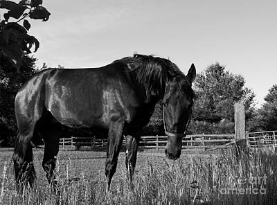 Poster featuring the photograph The Stallion by Davandra Cribbie