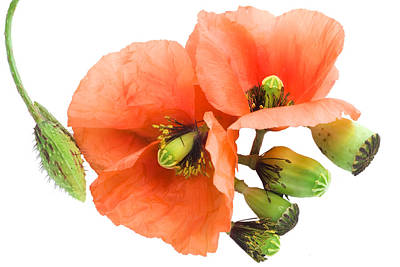 Poster featuring the photograph The Torn Off Poppy. The Broken Life. by Aleksandr Volkov