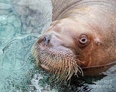 The Walrus Poster by Billie-Jo Miller