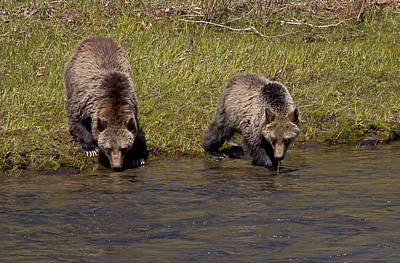 Poster featuring the photograph Thirsty Grizzlies by J L Woody Wooden