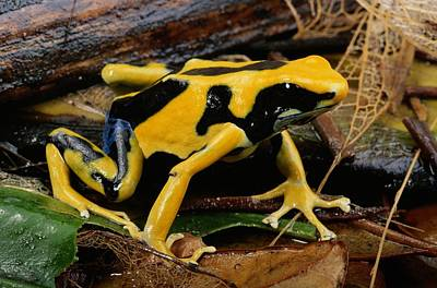This May Be The Poison Frog Dendrobates Poster by George Grall