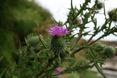 Poster featuring the photograph Thistle Bloom by Lorraine Devon Wilke