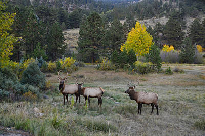Three Bull Elk In Rocky Mountain National Park Poster