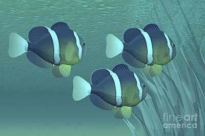 Three Clownfish Swim Close To Some Poster
