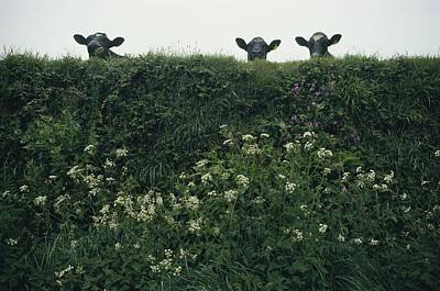 Three Cows Peer Over A Hedge Garlanded Poster