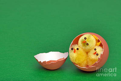 Three Easter Chicks In An Egg Shell Poster by Richard Thomas