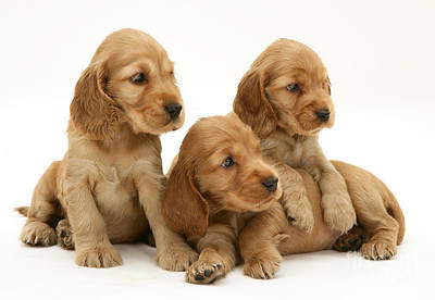 Three Golden Cocker Spaniel Puppies Poster by Jane Burton