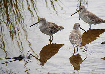Three Long Billed Dowitchers Poster