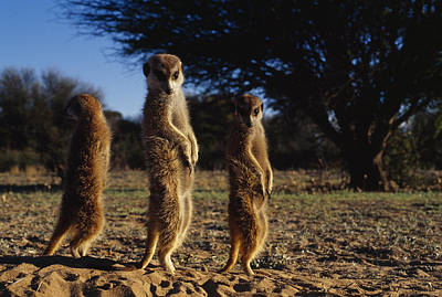 Three Meerkats With Paws Poised Neatly Poster