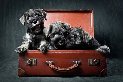 Three Miniature Schnauzer Puppies In Old Suitcase Poster