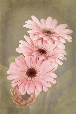 Three Pink Gerberas Poster by Fiona Messenger