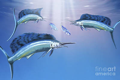 Three Sailfish Hunt For Their Prey Poster by Corey Ford