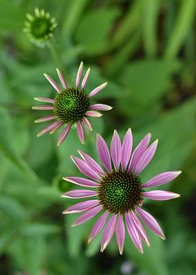 Three Stages Of A Coneflower Poster