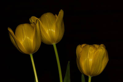 Poster featuring the photograph Three Tulips by Ed Gleichman