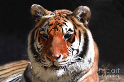 Tiger Blue Eyes Poster