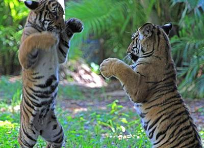 Tiger Cubs Boxing Poster by Larry Nieland