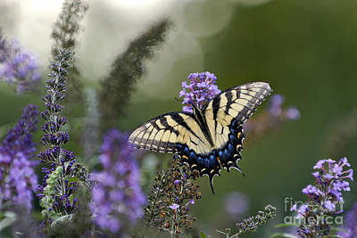Tiger Swallowtail - D007041 Poster by Daniel Dempster