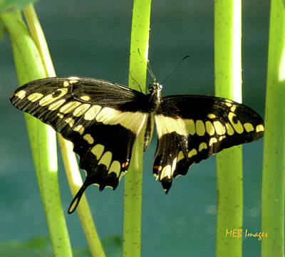 Tiger Swallowtail Poster by Margaret Buchanan