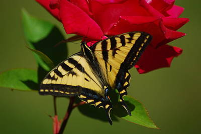 Tiger Swallowtail On A Red Rose Poster