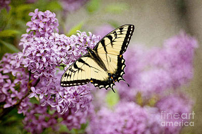 Poster featuring the photograph Tiger Swallowtail On Lilac Textured by Cheryl Davis