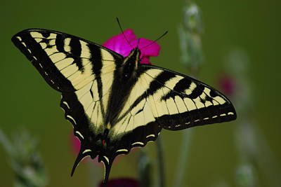 Tiger Swallowtail On Pink Poster