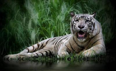 Bali Tiger Posters Fine Art America