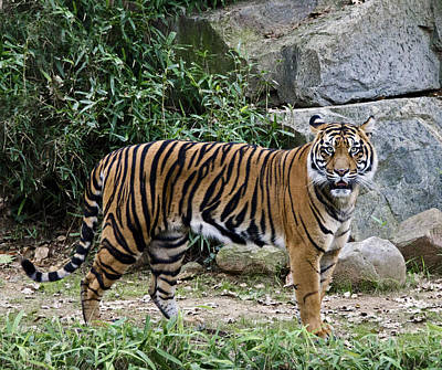 Tigers Glare Poster