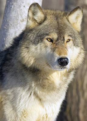 Timber Wolf Poster by John Pitcher