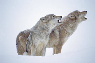 Timber Wolf Pair Howling In Snow North Poster by Tim Fitzharris
