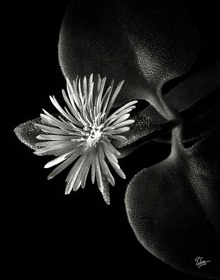 Tiny Ice Plant In Black And White Poster