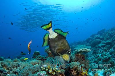 Titan Triggerfish Picking At Coral Poster