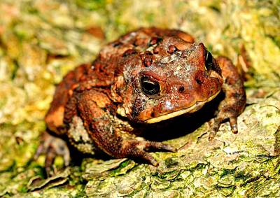 Poster featuring the photograph Toad by Joe  Ng
